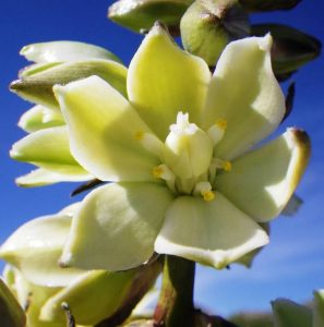 Benefits of Yucca Schidigera In Dog Food